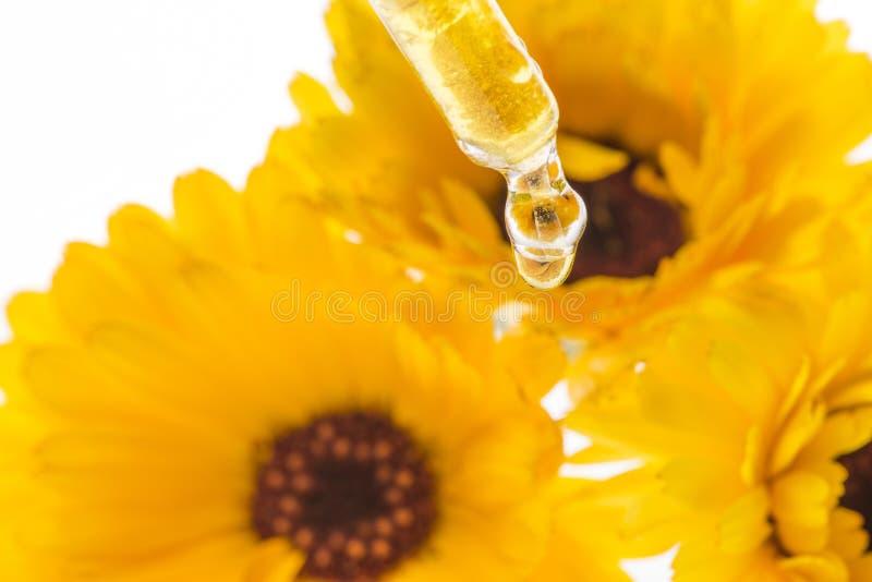 Ziołowy ekstrakt od nagietka kwiatu Calendula officinalis obrazy royalty free