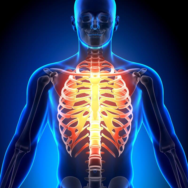 Ziobro klatka - anatomii kości royalty ilustracja