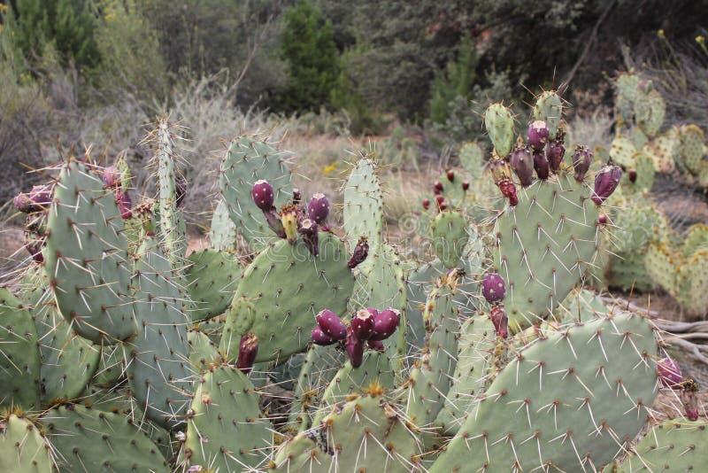 Zion National Park Cacti royalty-vrije stock afbeeldingen