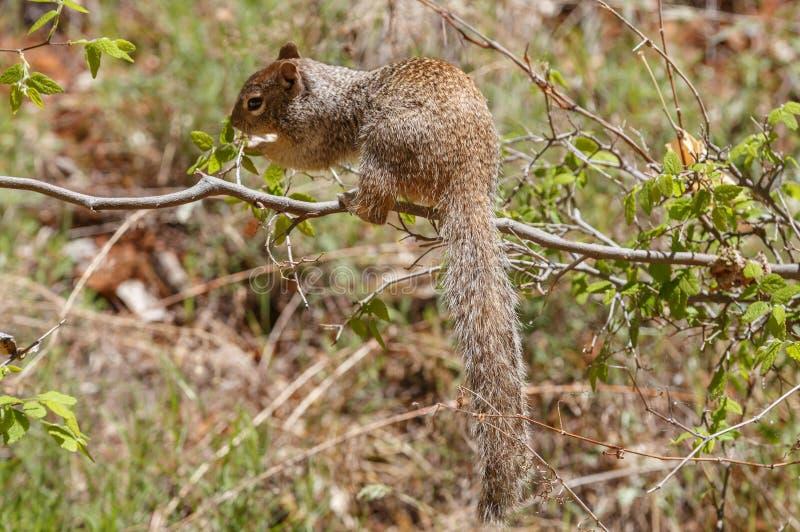 Zion parka narodowego Rockowa wiewiórka fotografia stock