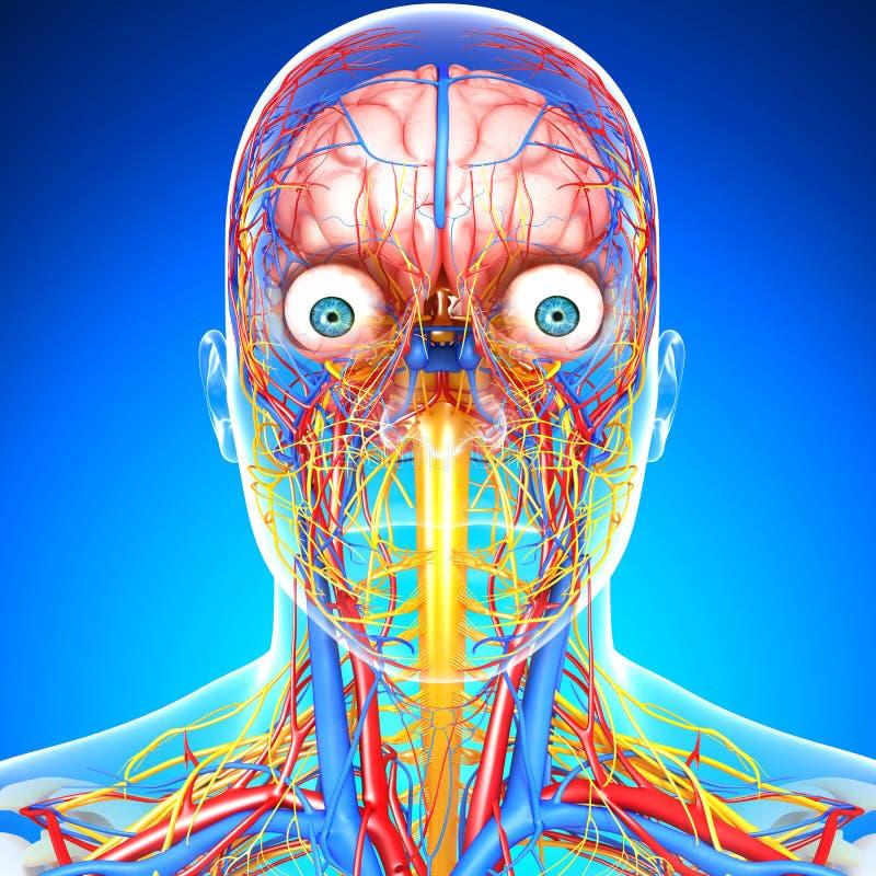 Zirkulierend und Nervensystem des Kopfes lizenzfreie abbildung