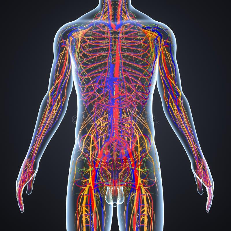 Zirkulierend Und Nervensystem Mit Lymphknoten Stock Abbildung ...