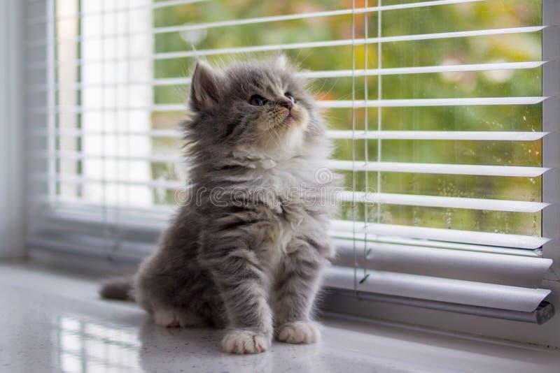 Zit het pluizige Maine de wasbeerkatje van Grey Persian Little dichtbij deur venster en omhoog het kijken Pasgeboren katje, Jong  royalty-vrije stock afbeeldingen