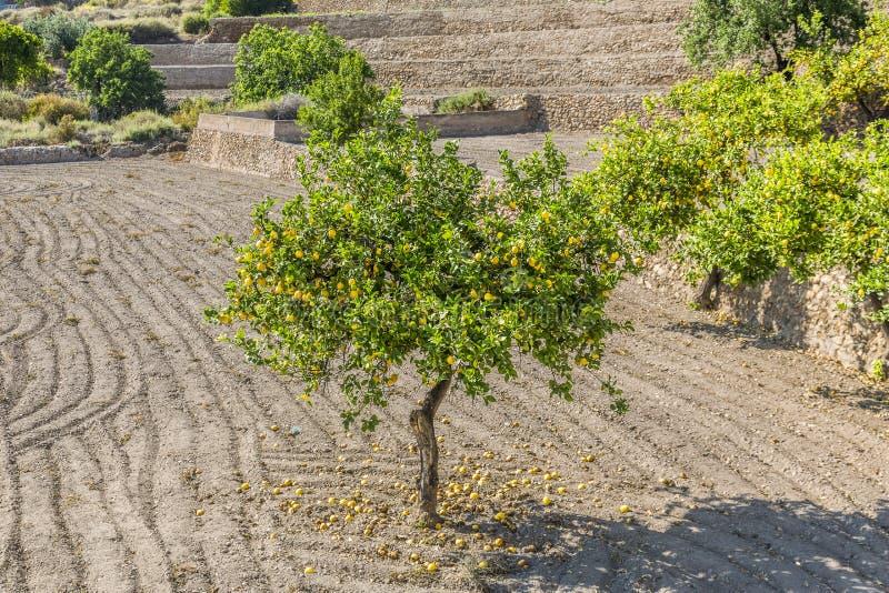 Download Zitrone stockbild. Bild von field, landwirtschaftlich - 26372059