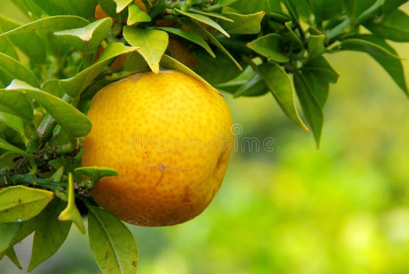 Zitrone auf Baum lizenzfreies stockbild