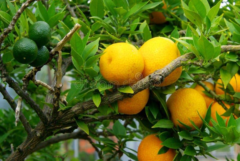 Zitrone auf Baum stockbild