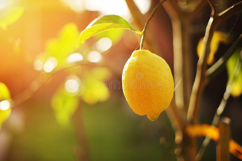 Zitrone auf Baum lizenzfreie stockbilder