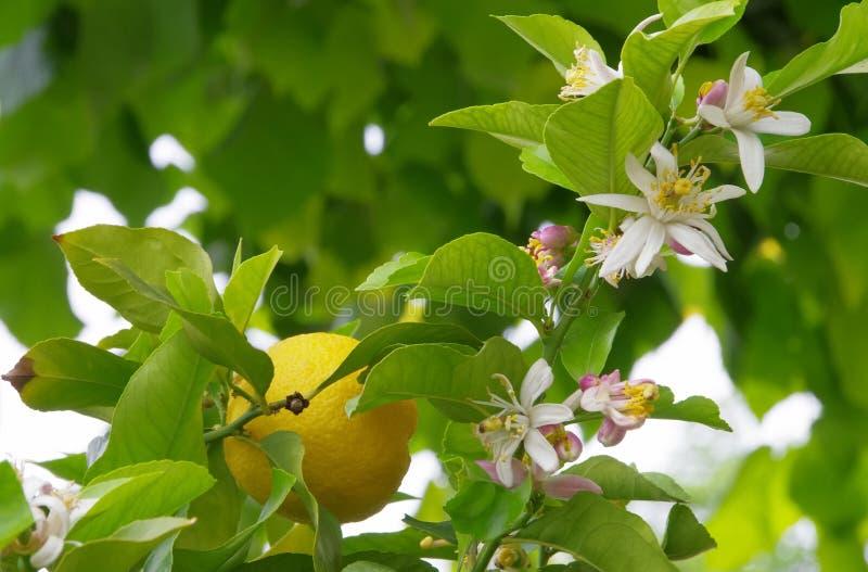 Zitrone auf Baum stockbilder