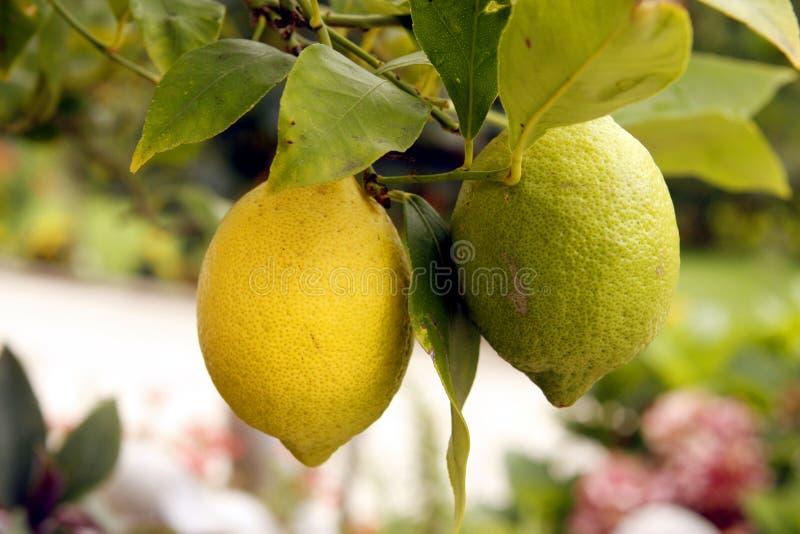 Zitrone auf einem Baum lizenzfreies stockbild