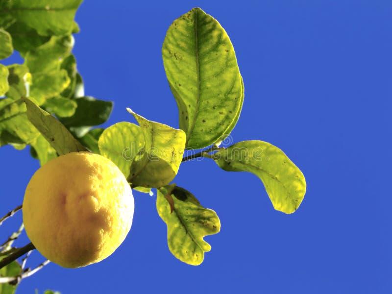 Zitrone-Baum lizenzfreie stockbilder