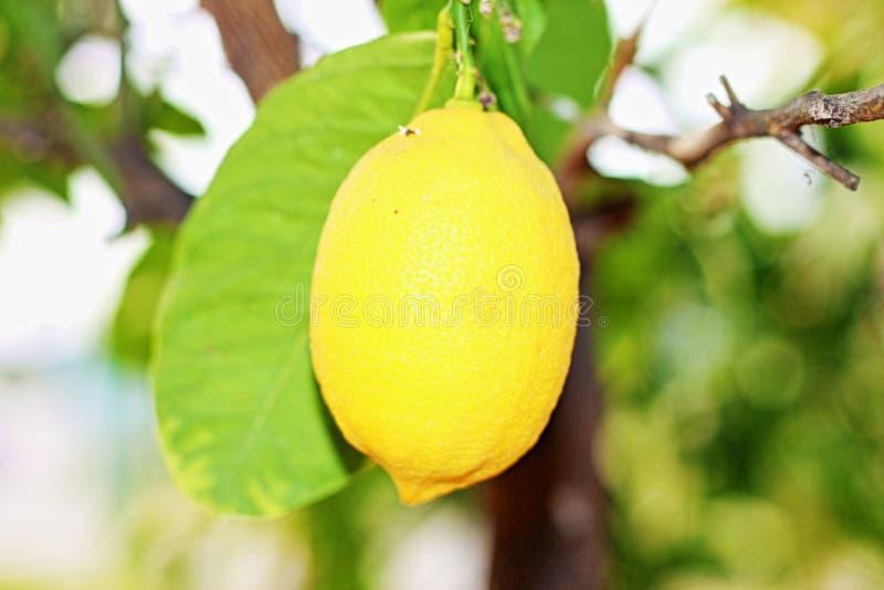 Zitrone Citrus Limon L Osbeck ist ein Obstbaum, der der Rutaceaefamilie gehört Die allgemeine Namenzitrone kann sich auf beiden W lizenzfreies stockbild