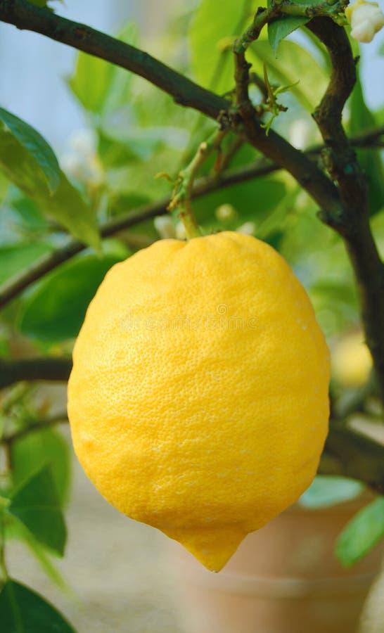 Zitrone im Baum stockfoto