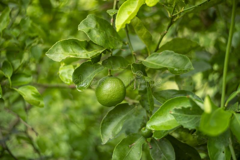 Zitrone im Garten lizenzfreie stockfotografie