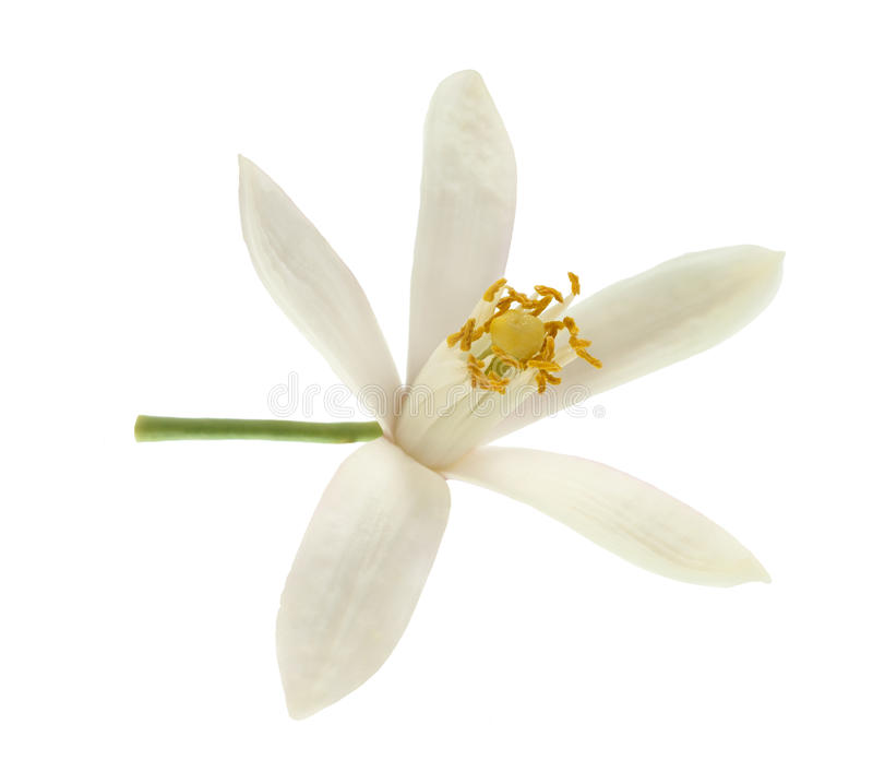 Zitrone und Blume lizenzfreie stockbilder