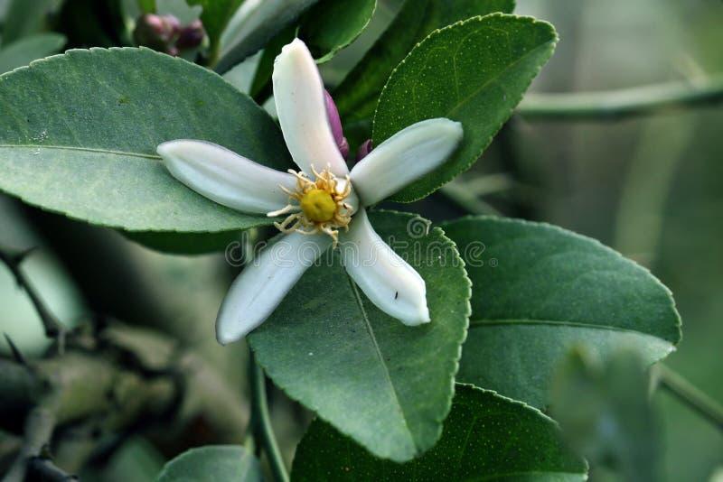 Zitrone und Blume stockfotografie