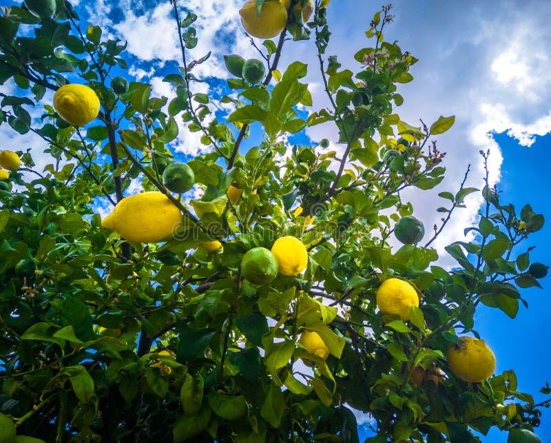 Zitronen auf dem Baum lizenzfreie stockbilder