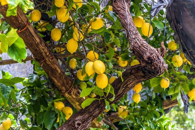 Zitronen, die am Zitronenbaum, in einem Garten, an der Amalfi-Küste hängen lizenzfreie stockfotografie