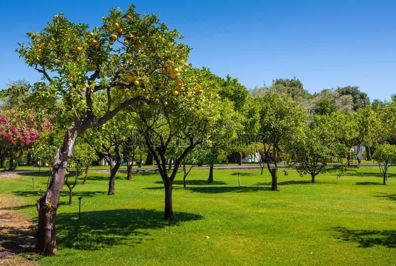 Zitronenbäume in einer Zitrusfruchtwaldung in Sizilien lizenzfreies stockfoto