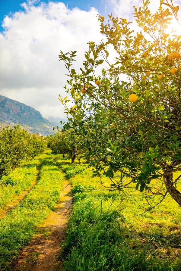 Zitronenbäume in einer Zitrusfruchtwaldung in Sizilien, Italien lizenzfreie stockfotos