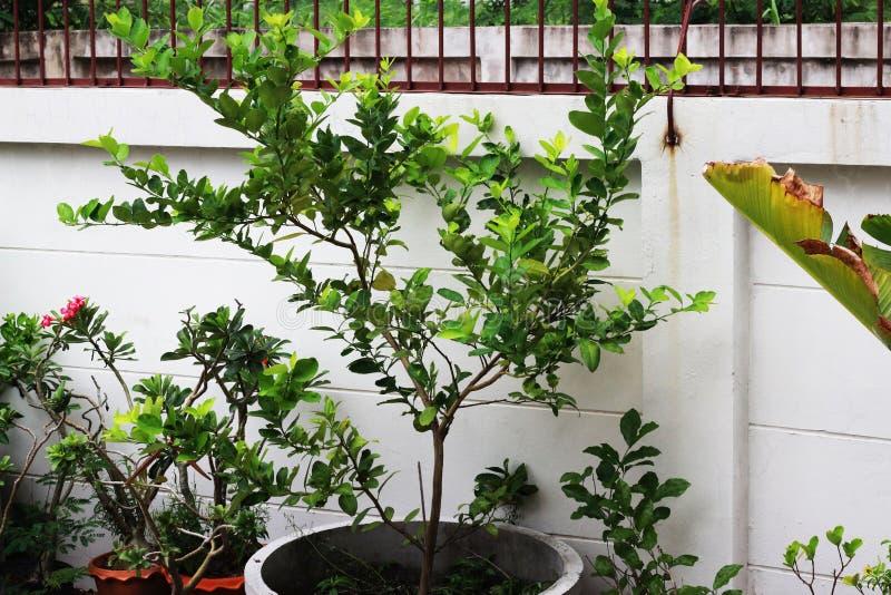 Zitronenbäume gepflanzt in den grauen Zementtöpfen im Garten lizenzfreie stockfotografie