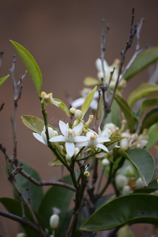Zitronenbaum im Schlag lizenzfreie stockfotos