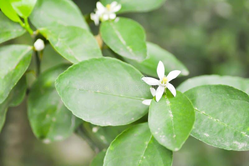 Zitronenbaum, Limettenbaum lizenzfreies stockfoto