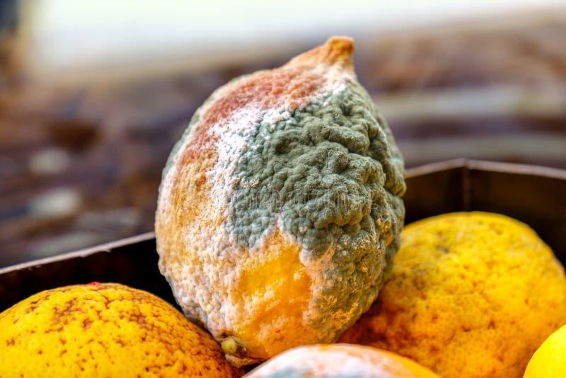 Zitronenformzitrusfrüchte schimmelig stockfoto