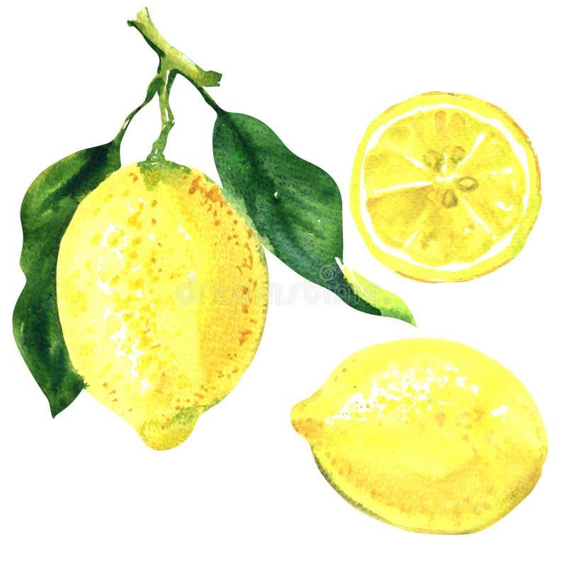 Zitronenfruchtniederlassung mit grünen Blättern, frischer Zitronenzitrusfruchtbaum, ganze Zitrone und Scheibe, lokalisiert, Handg lizenzfreie abbildung