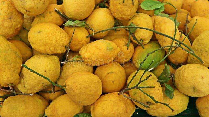 Zitronengelbe Früchte, Zitrusfrucht medica ist der wissenschaftliche Name, mit Blättern und Niederlassungen lizenzfreie stockfotografie