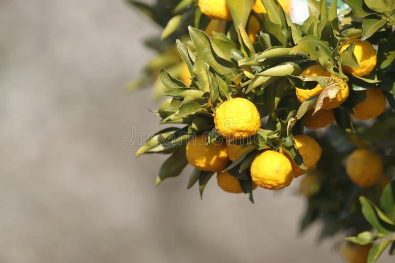 Zitronengelber Baum lizenzfreie stockfotografie
