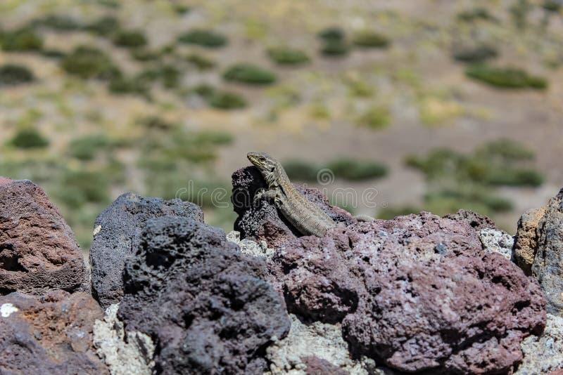 Zitronengelbes Eidechse Gallotia-galloti, Frau aalt sich auf vulkanischem Lavastein Nah oben, Makro-, natürlicher Hintergrund stockbilder