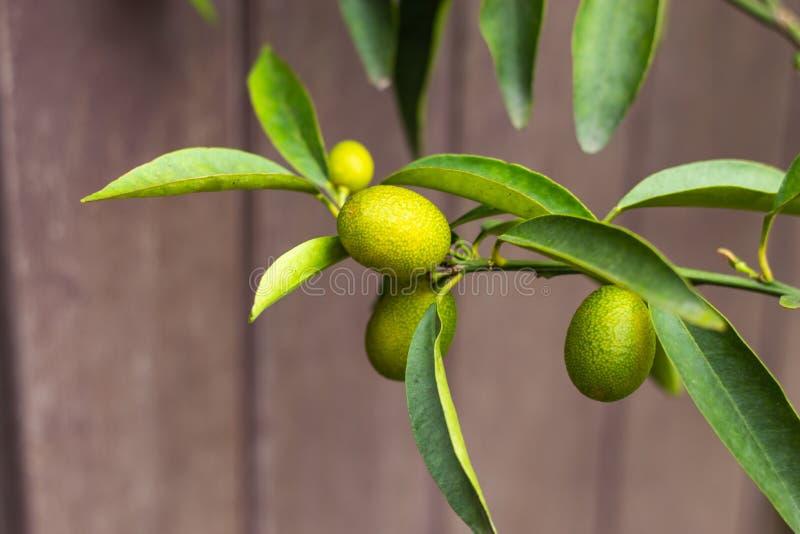 Zitronengrün auf den Bäumen im Garten lizenzfreie stockfotos