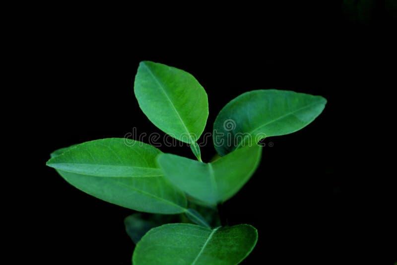 Zitronengrün-Blattbiologisches lebensmittel im Studio auf schwarzem Hintergrund lizenzfreie stockfotografie