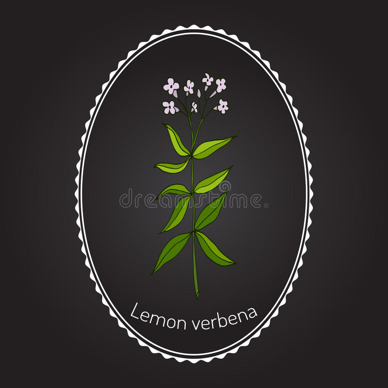 Zitronenverbene lizenzfreie abbildung