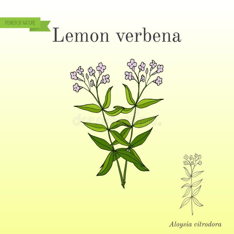 Zitronenverbene oder Zitrone beebrush aloysia citrodora - aromatisch und Heilpflanze lizenzfreie abbildung