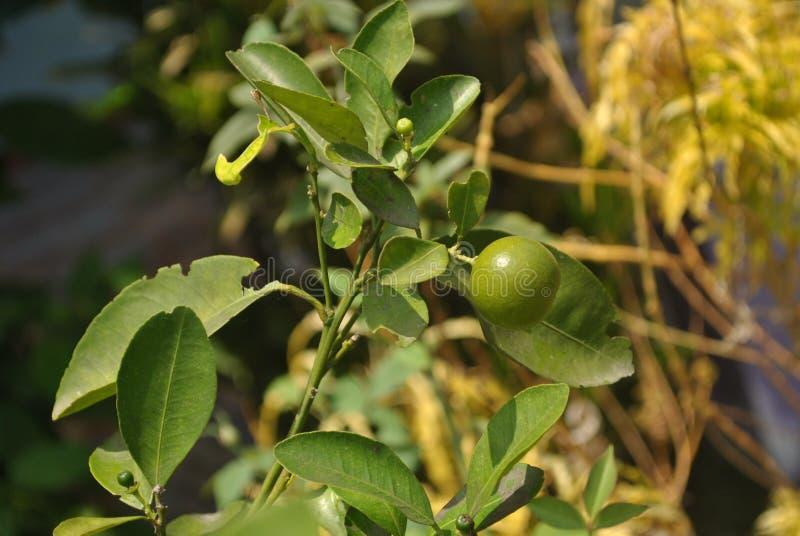 Zitrusfrucht am Abend stockfotografie