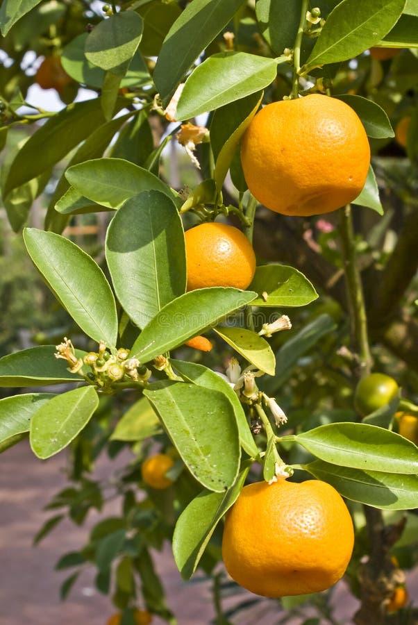 Zitrusfrucht-Anlage stockfotografie