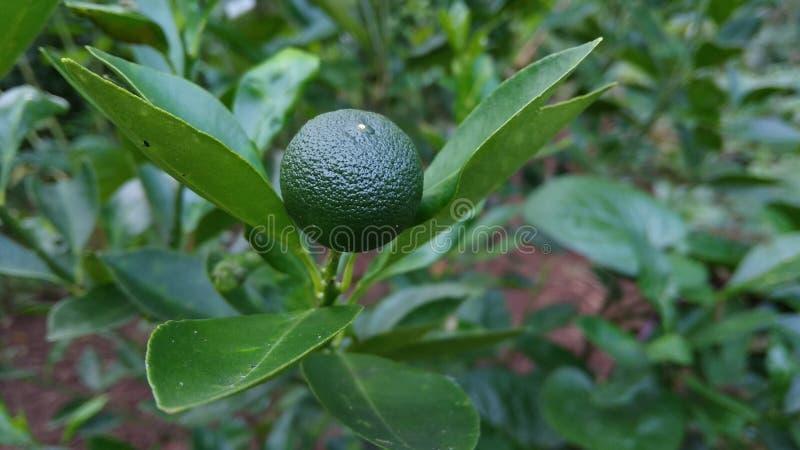 Zitrusfrucht Calamondin ist noch roh stockfotos