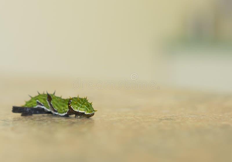 Zitrusfrucht Swallowtail Caterpillar, das über Hindernis mit Kopie kriecht lizenzfreie stockfotos