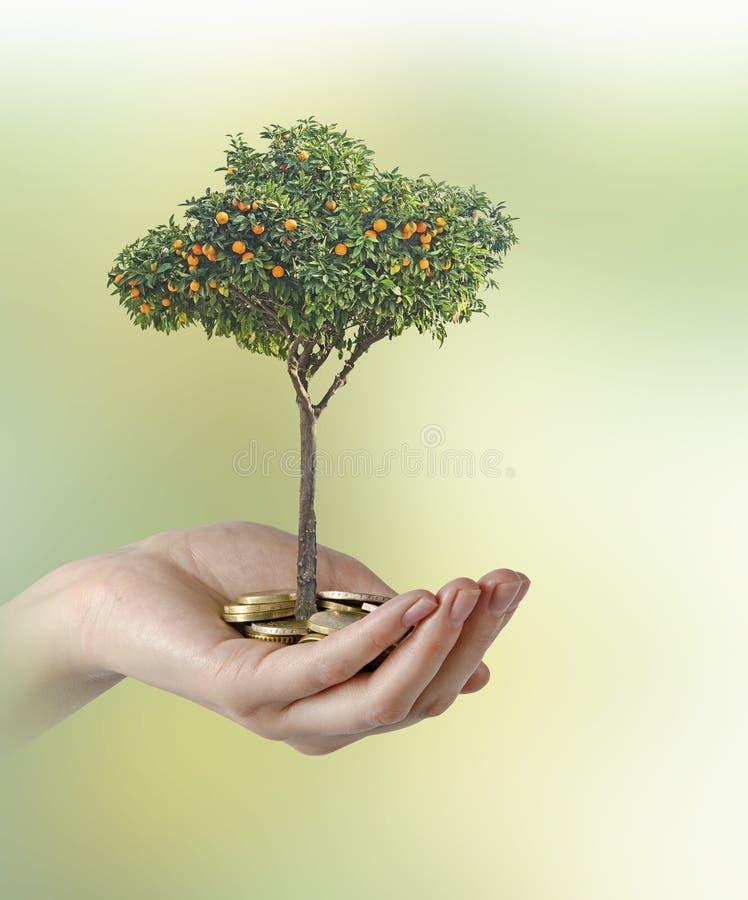 Zitrusfruchtbaum, der von den Münzen wächst stockfotografie