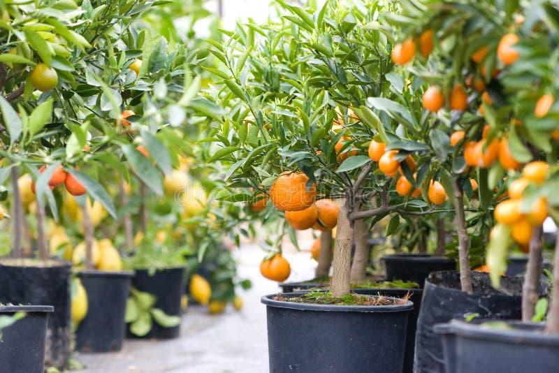 Zitrusfruchtgarten voll der kleinen Bäume lizenzfreie stockbilder