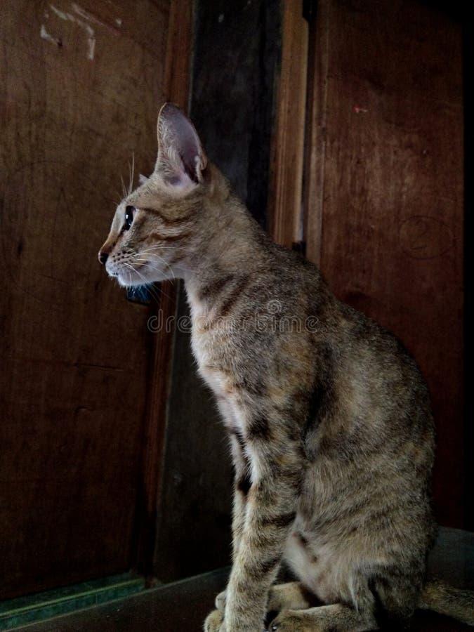 Zittend gestreept katachtig kattenhuisdier stock afbeelding