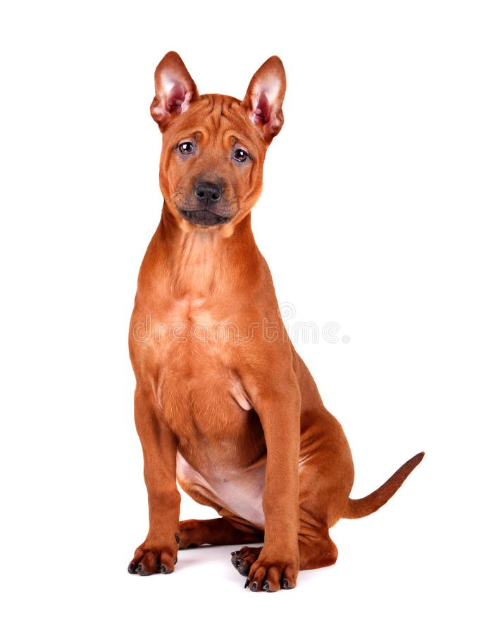 Zittend Thais Ridgeback-puppy stock afbeeldingen