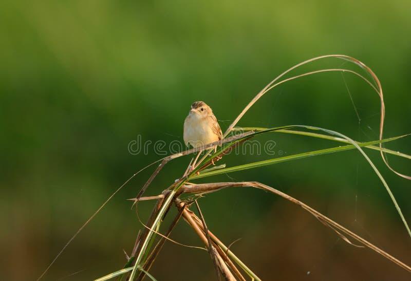 Zitting Cisticola (Cisticola juncidis) arkivfoto