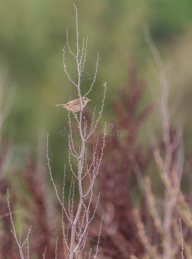 Zitting Cisticola em um arbusto seco imagem de stock