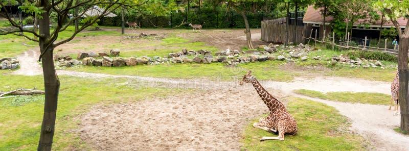 Zitting de met een netvormig patroon van camelopardalisreticulata van girafgiraffa op gazon royalty-vrije stock foto's