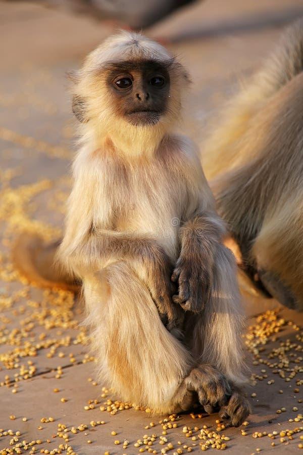 Zitting van baby de grijze langur in Amber Fort dichtbij Jaipur, Rajasthan, I stock fotografie