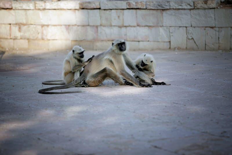 Zitting van de foto de vrouwelijke groene aap ter plaatse en schoonmakende pakleider royalty-vrije stock foto