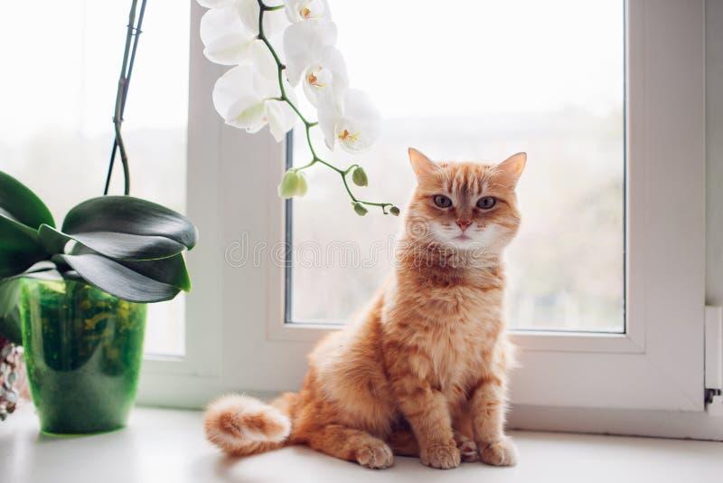 Zitting van de gember de rode kat op de vensterbank dichtbij de orchidee stock fotografie