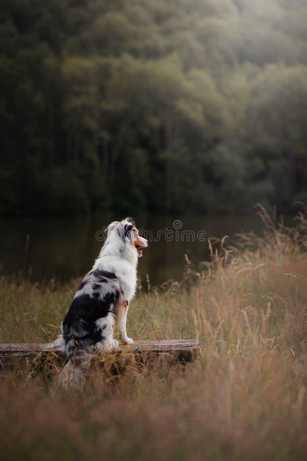 Zitting van de hond de Australische Herder op een bank Huisdier in aard De stemming van de herfst Vele roze en magenta asters royalty-vrije stock afbeelding